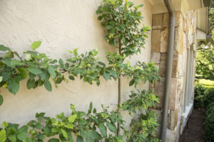 Knoxville Espalier Tree